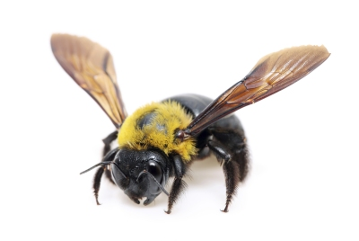 ps-carpenter-bee