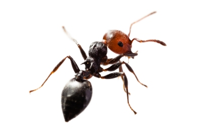 ps-ant3