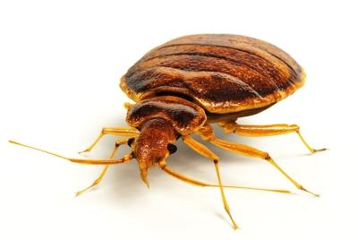 ps-bedbug