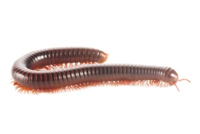 ps-centipede