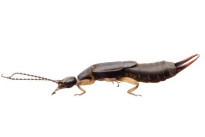ps-earwig