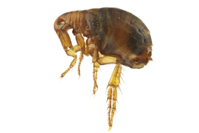 ps-flea