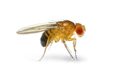 ps-fruit-fly