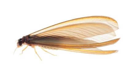 ps-termite